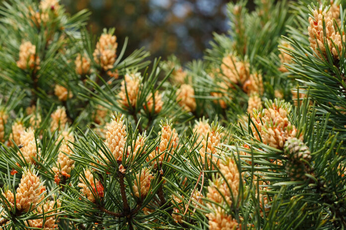 Know Why Young People are Taking Pine Pollen